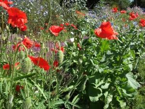 dscf0138a-poppies-devonian